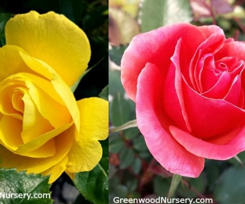New Easy To Grow Shrub Roses Flower Spring to Fall From GreenwoodNursery.com