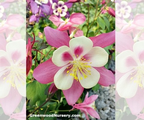More Columbine Wildflower Plants Added To GreenwoodNursery.com